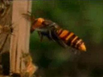 Katil eşek arılarının bal arısı katliamı