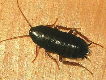 Там лежал большой чёрный таракан, крупный, почти 3,5 см.